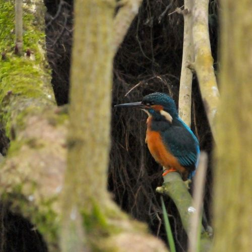 Kingfisher2 5457